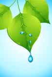 Água que deixa cair da folha Imagens de Stock Royalty Free