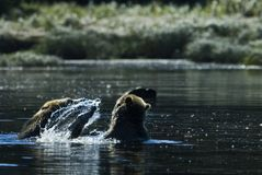 Água que espirra o urso Fotos de Stock