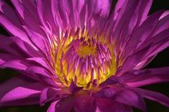 Água radiante Lilly da beleza Imagem de Stock Royalty Free