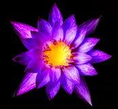Água roxa bonita lilly Imagem de Stock Royalty Free