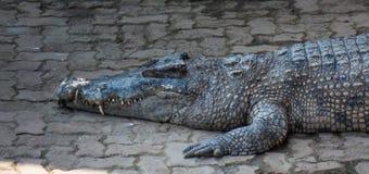 Água salgada do crocodilo Foto de Stock Royalty Free