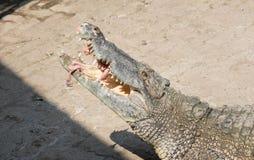 Água salgada do crocodilo que alimenta Tailândia Imagem de Stock Royalty Free