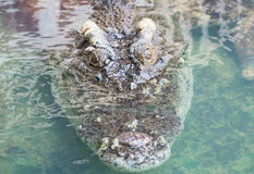 Água salgada Tailândia do crocodilo Imagem de Stock Royalty Free