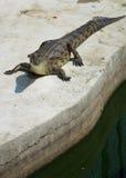 Água salgada Tailândia do crocodilo Foto de Stock
