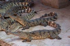 Água salgada Tailândia do crocodilo Fotografia de Stock Royalty Free