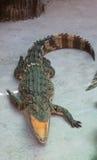 Água salgada Tailândia do crocodilo Fotos de Stock