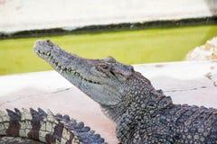 Água salgada Tailândia do crocodilo Imagens de Stock Royalty Free