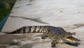 Água salgada Tailândia do crocodilo Imagem de Stock