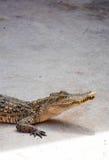 Água salgada Tailândia do crocodilo Imagens de Stock