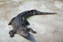 Água salgada Tailândia do crocodilo Fotos de Stock Royalty Free