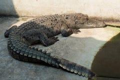 Água salgada Tailândia do crocodilo Alugueres Foto de Stock Royalty Free