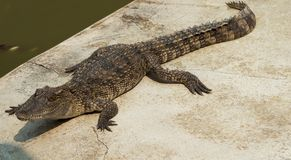 Água salgada Tailândia do crocodilo Alugueres Fotos de Stock Royalty Free