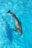 Água sozinha de turquesa da opinião de ângulo elevado do golfinho imagem de stock royalty free