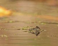 Água Strider durante o acoplamento fotografia de stock