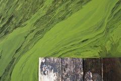 Água verde de florescência no lago Foto de Stock Royalty Free