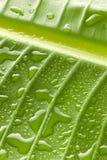 A água verde deixa cair o fundo da folha Imagens de Stock