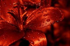 A água vermelha deixa cair lilly Fotos de Stock Royalty Free