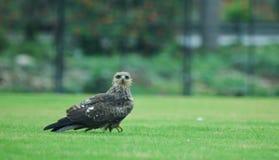 águia Fotografia de Stock