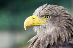 águia imagem de stock royalty free