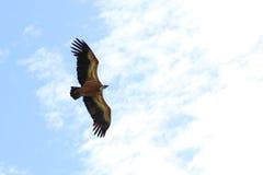águia Fotografia de Stock Royalty Free