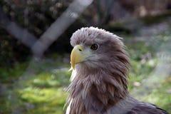 águia Fotos de Stock Royalty Free
