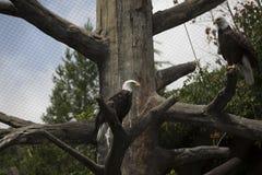 águia Imagens de Stock