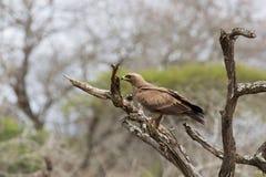 Águia africana do falcão Fotos de Stock