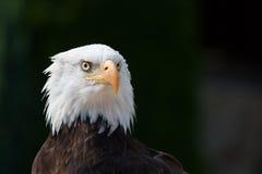 Águia americana Fotografia de Stock