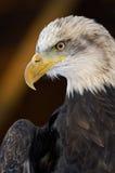 Águia americana Imagens de Stock
