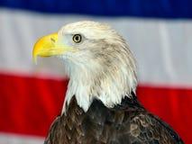 Águia americana Imagens de Stock Royalty Free