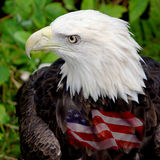 Águia americana Foto de Stock