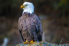 Águia americana Fotos de Stock