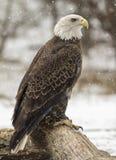 Águia americana americana Imagem de Stock Royalty Free