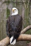 Águia americana americana Imagem de Stock
