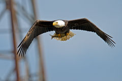 Águia americana americana em vôo com peixes Imagens de Stock