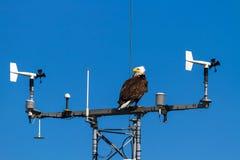 Águia americana americana empoleirada na torre de comunicação fotografia de stock royalty free