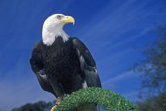 Águia americana americana, forquilha do pombo, TN fotografia de stock