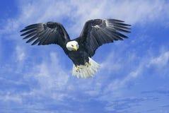 Águia americana americana, forquilha do pombo, TN imagem de stock royalty free