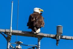 Águia americana americana na torre de comunicação imagens de stock royalty free
