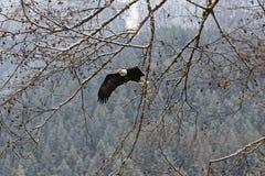 Águia americana americana selvagem em voo sobre o rio de Skagit na lavagem Foto de Stock