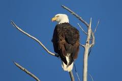 Águia americana com céu azul Imagem de Stock Royalty Free