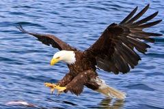 Águia americana de Alaska que ataca um peixe