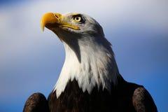 Águia americana em Colorado com céu azul Fotos de Stock