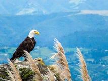 Águia americana em Rocky Outcrop, montanhas de Andes, Equador, Ámérica do Sul imagem de stock