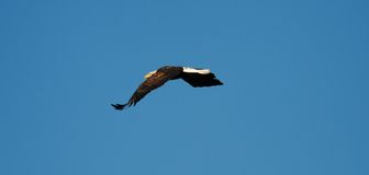 Águia americana em vôo. Fotos de Stock