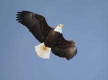 Águia americana empoleirada Fotos de Stock Royalty Free