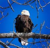 Águia americana empoleirada do tempo de inverno fotografia de stock royalty free