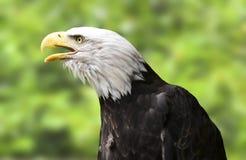 Águia americana americana, fim acima do retrato imagens de stock royalty free
