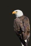 Águia americana - leucocephalus do Haliaeetus Fotos de Stock