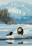 Águia americana (leucocephalus do Haliaeetus) e corvo preto Fotografia de Stock